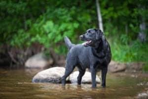 smiling dog in river