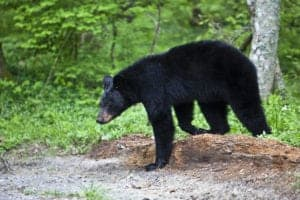 A black bear walking through the forest