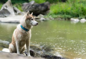 husky dog sitting near river